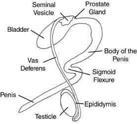 reproductive system of male and female cattle
