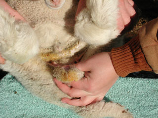 Castrating Lambs and Kids