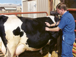 Dr. Cody W. Faerber Checking a Cow